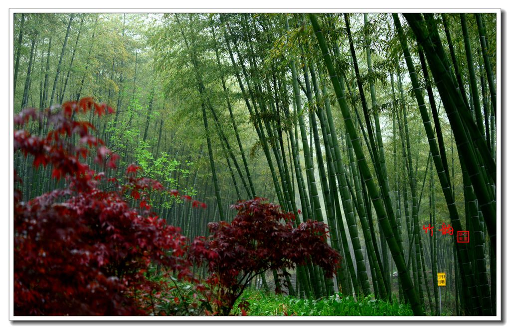 安吉,雨中的竹子