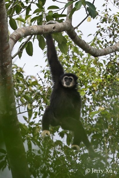 密林探访白掌长臂猿