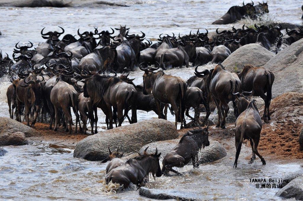 塞伦盖蒂百万动物大迁徙