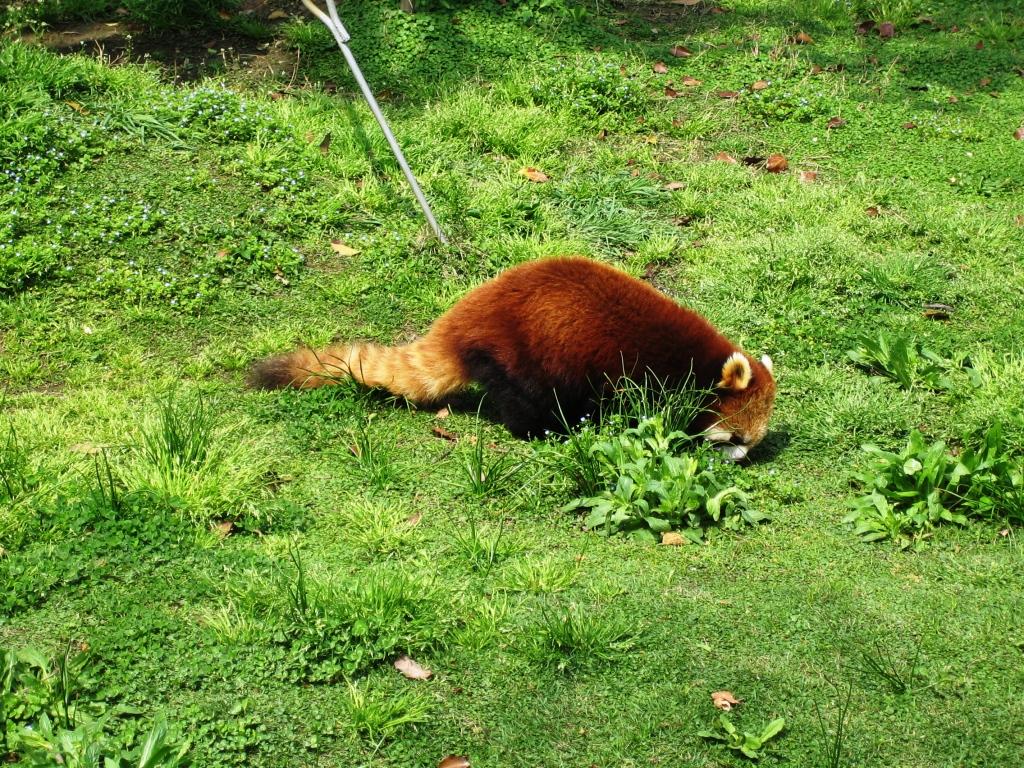 比植物园什么的我一直更力推去动物园野生动物园有些远的话,可以去上海动物园,这是老上海小盆友去的地方,小时候感觉很高级哦很久没来了,已经不太记得了去的时候天气很好,特别请假去的,人估计没有双休日多,碰到了组织小朋友来春游的,小朋友一个个还是很兴奋的样子没去过野生动园,但是觉得这边动物园其实也是动物蛮齐的,什么样的都有只不过这种季节天气去,老虎猛兽来一搬都在睡觉旅游失望国宝大熊猫前总是围着很多人,棕熊还是很给面子的一只在那里游个水自得自乐