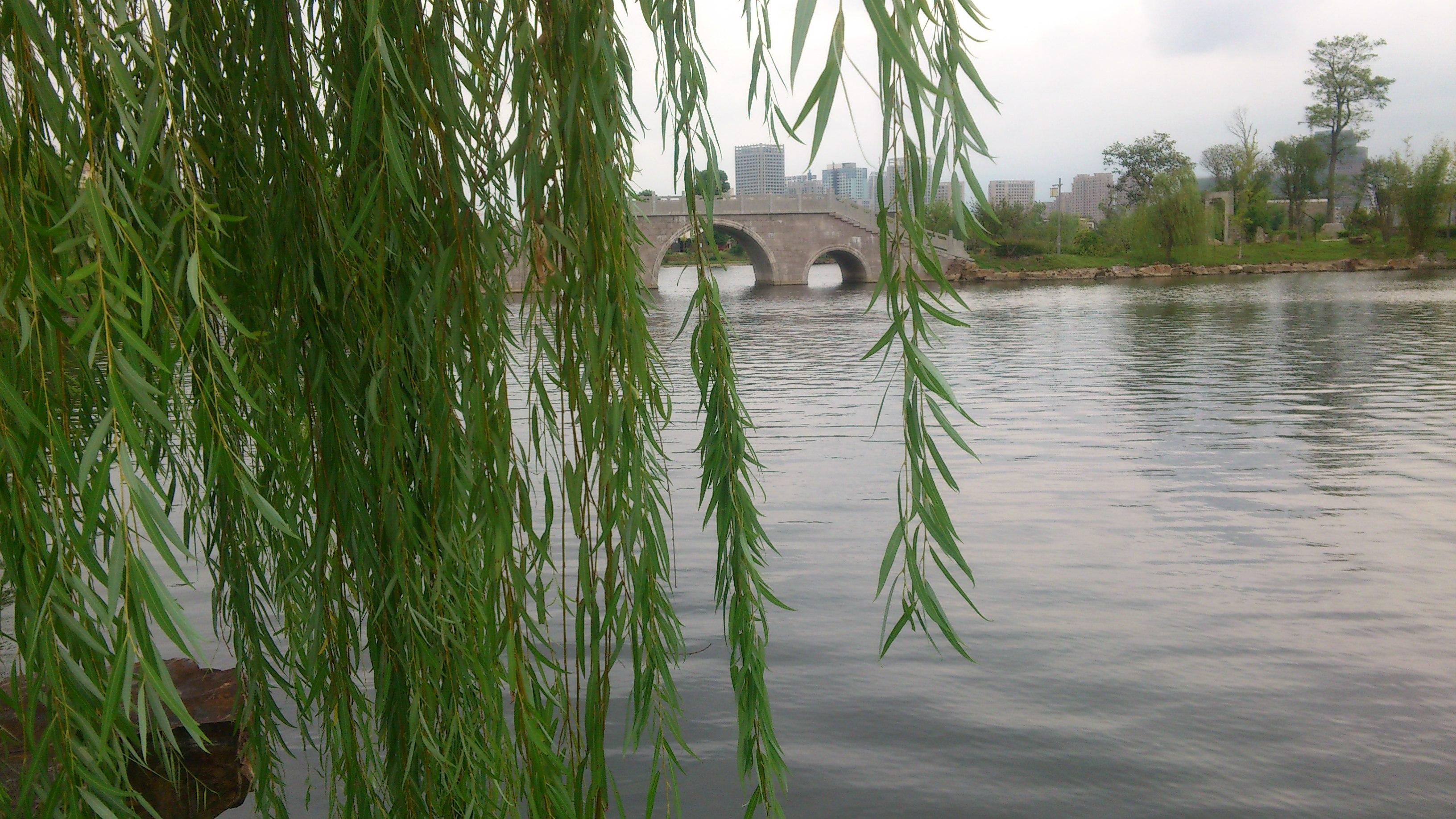 垂柳 柳树 树 3264_1836图片