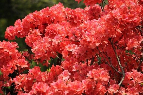 杜鹃是灌木比较低矮,杜鹃园中还种植着小枫树等较高的树木,作为衬托和