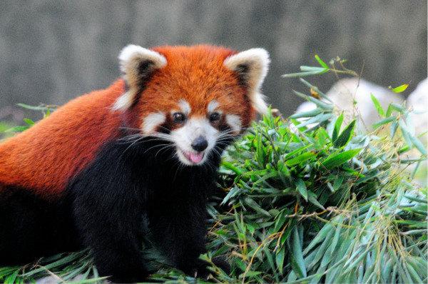 小熊猫又名红熊猫,红猫熊,小猫熊,九节狼等,是一种濒危的哺乳类动物