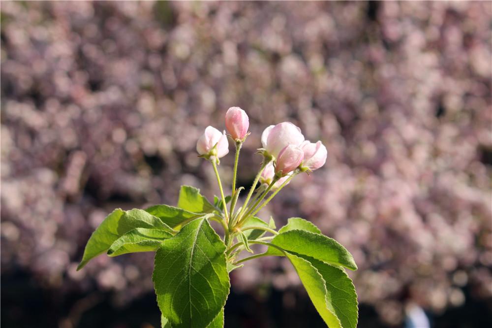 植物园的桃花节为北京春天最著名的三大赏花节
