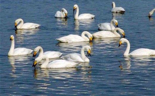 尤以国家二级保护动物天鹅著名