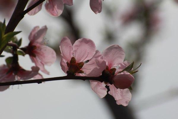 光影下的桃花花瓣是透明的  五色碧桃:又称撒金碧桃,大部分花为白色