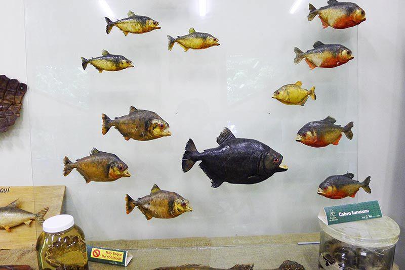 (食人鱼标本)图片