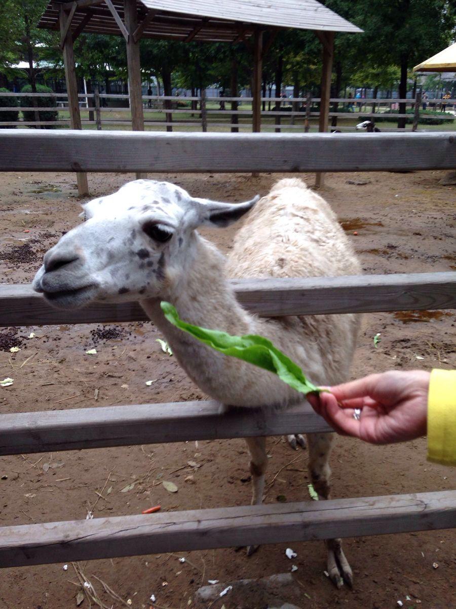北京野生动物园位于大兴区万亩森林,距市区约40公里。园里饲养了两百多种动物,数量上万只,是带小朋友参观和学知识的乐园。园里很多动物都采用散养的方式,可以坐铁笼车近距离观察动物,还可以进行喂养,趣味十足。 北京野生动物园面积很大,纵深约有1.5公里,行进一圈儿约有4公里。景区的大门位于西侧,从西侧进门后有两条路线,分别为南线和北线,在南线和北线的深处都通向内部的散养区。一般的游玩路线为从南线步行进入,先游玩南线各区域。然后乘坐喂养车穿过散养区,再从北线步行游玩而出,游玩整个动物园大概需要半天时间。 从位于西