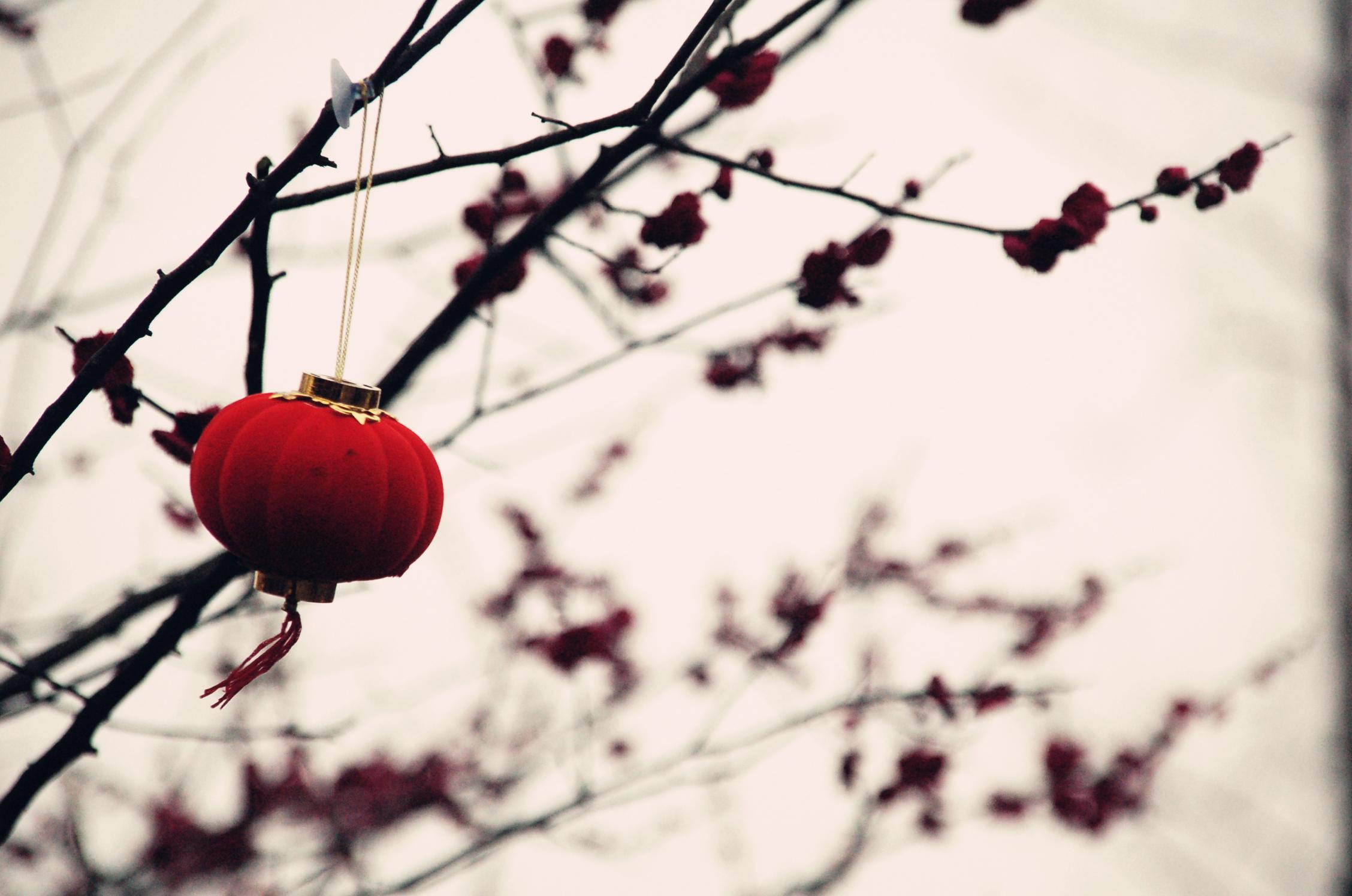 一棵梅花树上挂着红灯笼