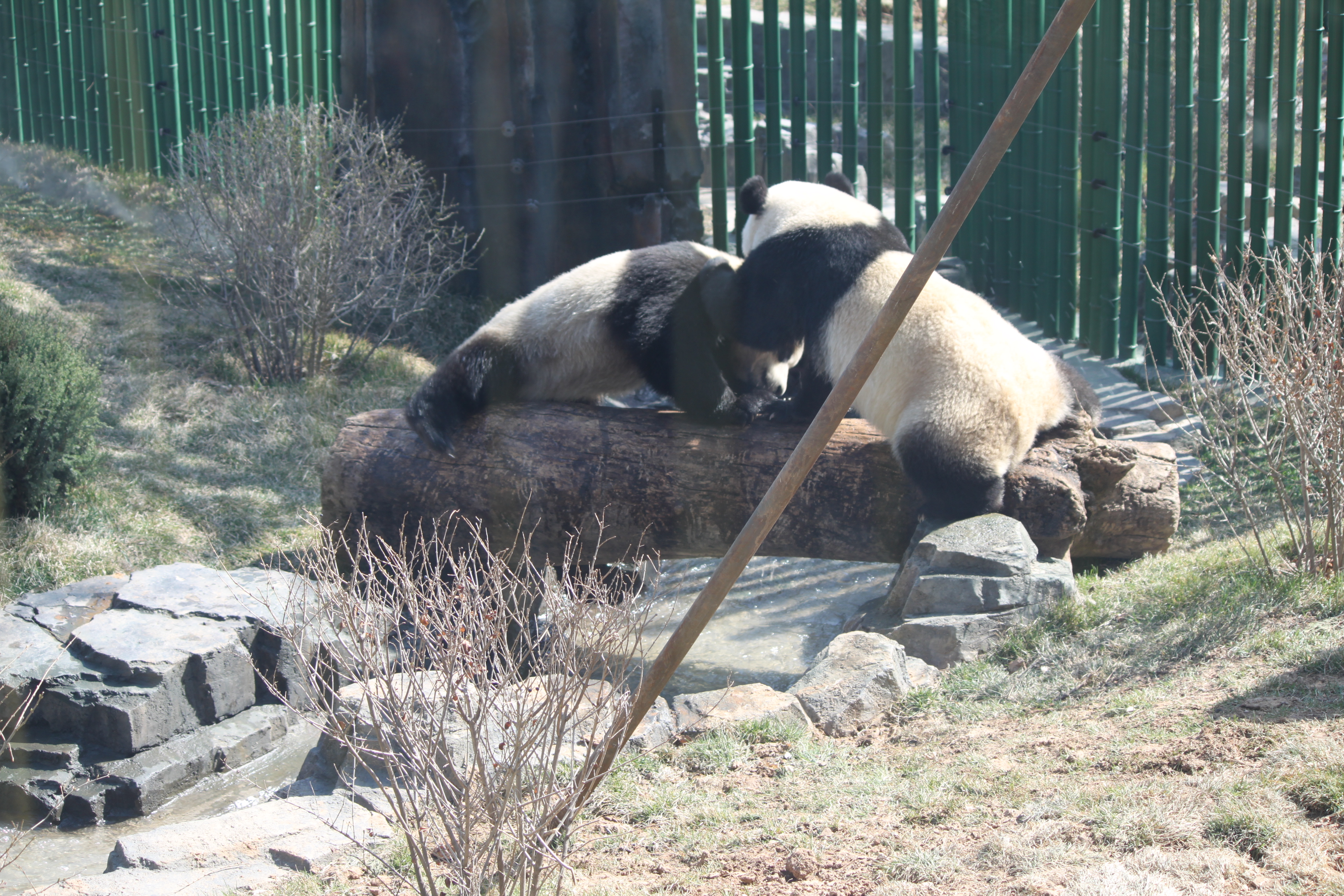 武林萌主大熊猫【取景于大连森林动物园熊猫馆】