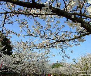 东湖樱花园旅游景点攻略图