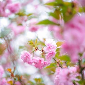 通道游记图文-春遇怀化,赏花徒步,与古城侗族相约