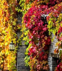 [古北水镇游记图片] 红了红了,这个秋天,TA彻底红了!
