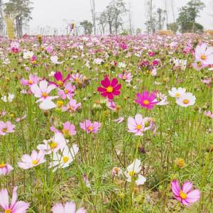 三水区游记图文-格桑花、向日葵、禾雀花...来三水,邂逅一场绚烂花事!