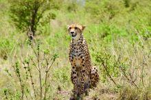 肯尼亚,动物看上去都有灵性似的。花豹威风凛凛,有点占山为王的感觉,斑马就像是玩具。庄园里的鸵鸟,在早