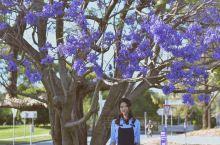 昆士兰大学里的蓝楹花,十月紫色的梦
