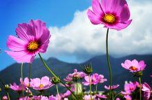 冬季農田休耕時期,位於台北市區的關渡平原開滿五顏六色的波斯菊花海,為蕭瑟的冬天增添一抹動人的色彩。