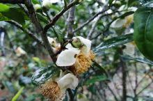 上周末,我到龙州八角乡后山茶园探班《龙州媚》MV杀青,看到有些茶树开花了,还有结果了的,于是抓紧时间