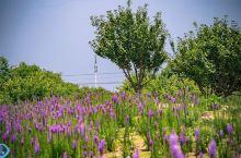 贡湖湾湿地公园的蛇鞭菊