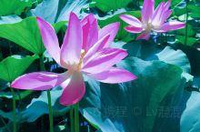 《夏日里不能错过的紫竹院赏荷》