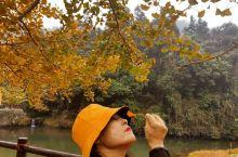 韶关南雄的银杏叶黄金满地的感觉,周末家人聚齐同赏金秋银杏,美极了,很开心的一次2日游,尤其是黄金大道