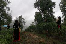 在龙州八角乡后山茶茶园等待了将近一个小时,雨终于停了,音乐电影MV《龙州媚》的最后场景的拍摄终于可以