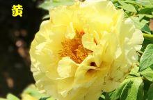 谷雨•牡丹芳华(牡丹十大名种及赏花攻略)