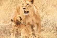 20天坦桑尼亚之旅-塞伦盖蒂追踪野生动物