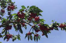 体验采摘,到大旺樱桃采摘合作社这边是一个不错的选择,这里的樱桃品种比较多,个头大,味道甜甜的,看中哪