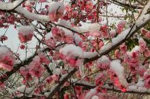 今天燕儿谷梅岭再现踏雪寻梅