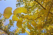 想去看银杏叶好久,收到信息说银杏叶已黄,周末马上出发,果然无有让人失望,我们来的时间刚好,银杏叶已泛
