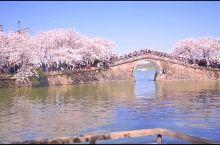 无锡鼋头渚樱花,风铃声太治愈了,适合拍照