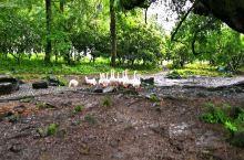 一群网红鹅