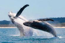"""每年从6月到11月 座头鲸从南极洲迁徙约 5000 公里 来到昆士兰海岸温暖的水域""""度假"""" 顺便产下"""