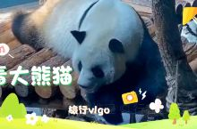 熊孩子玩熊猫游戏比看大熊猫还开心