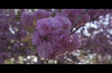 【柏林】看樱花不用再去日本!(上)这里的樱花