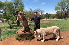 南非约翰内斯堡之行 - 非洲草原撸大猫; 虽说是已经酒足饭饱了的,但是毕竟是野生的非洲狮,直勾勾的眼