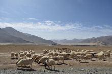 可可西里藏羚羊|西王母瑶池—黑海