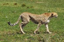 世界上最大最好的自然保护区就有肯尼亚的马赛马拉国家公园,这里人与自然的和谐已经是非常完美了。这是前年