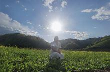 绿江村的油菜花