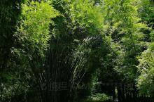 福州国家森林公园 这里的竹子品种很多,长势喜人,每次去必去欣赏!