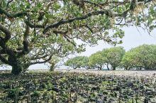 想欣赏最美最古老的红树林就上特呈岛吧