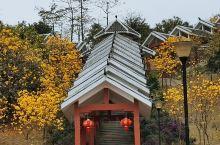江南公园,黄风铃花开了, 满城尽带黄金甲 随手一拍均是大片