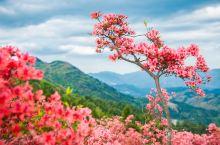 你小时候看过杜鹃花开吗