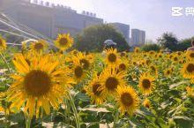 福州的秋——花海公园万朵向日葵盛开~~