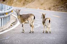 西藏,野生动物的天堂,和它们来次亲密接触