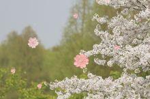 通往春天的樱花大道 辰山植物园