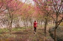 临安的米积村有一个樱花园,道路两旁全部是早樱,红花绿树,很美。知道的人不多,所以很适合拍照,如果用无