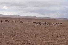 可可西里的野驴