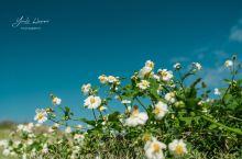 夏威夷的植物 菊科鬼针属白花鬼针草